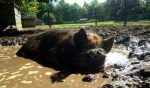 De varken van de kinderboerderij ligt heerlijk in een modderpoel te genieten (bron/foto: Kibo Huizen)